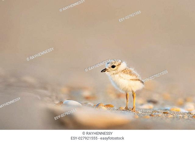 An endangered cute and tiny Piping Plover chick stands on a sandy beach with small pebbles just after sunrise one early morning