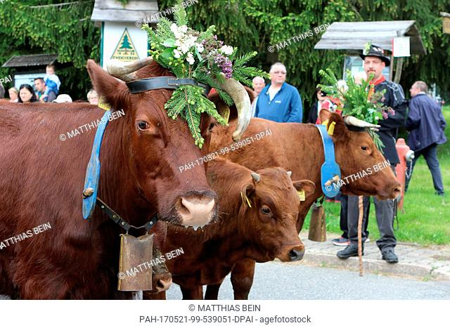 dpatop - Festively attired cows march through the town along with their owners during the traditional Cow Prom in Tanne, Germany, 21 May 2017
