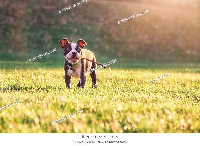 Boston terrier puppy with stick in mouth on grass looking at camera smiling