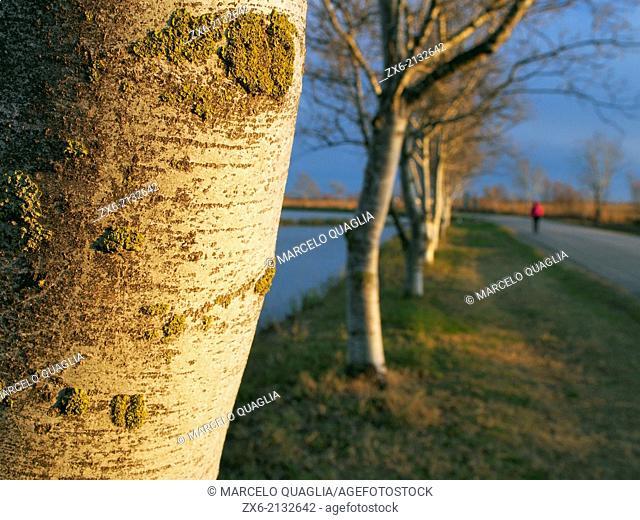 Poplar trees (Populus alba) at Tourist Information Centre of Encanyissada Lagoon. Ebro River Delta Natural Park, Tarragona province, Catalonia, Spain