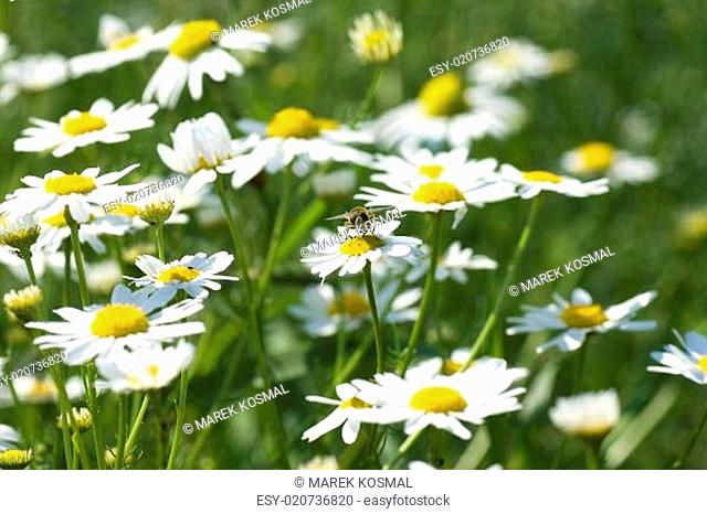 Spring in the group of camomile