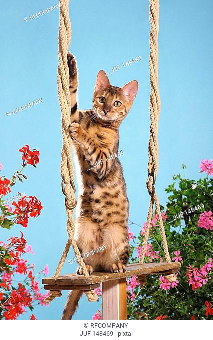 Bengal cat - standing on swing