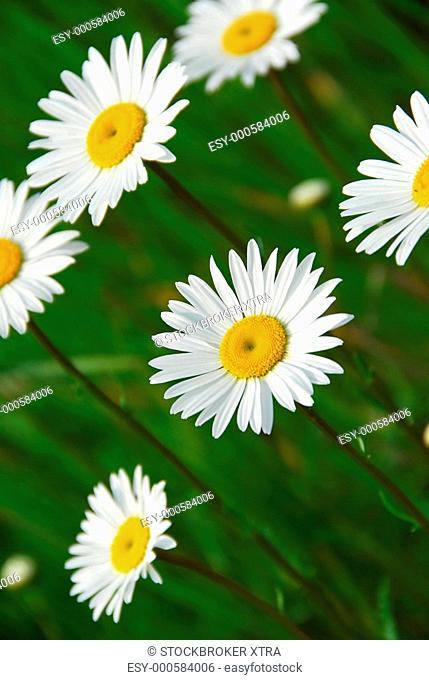 Beautiful summer daisies