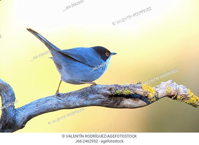 warbler (Sylvia melanocephala) male in the Alto Palancia region. Castellón. Spain