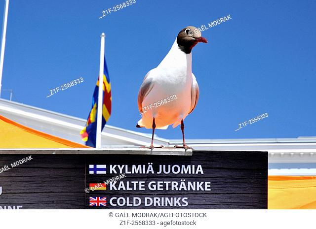 Opportunistic gull looking for food on Helsinki center market, Finland