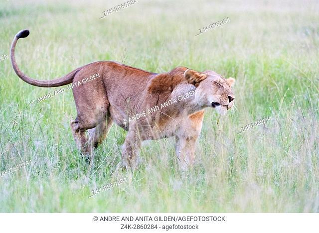 Lioness (Panthera leo) shaking of water on the savanna, Maasai Mara national reserve, Kenya