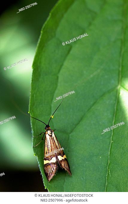 Longhorn moth Nemophora degeerella on leaf - Bavaria/Germany