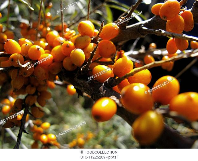 A sprig of sea buckthorn with berries
