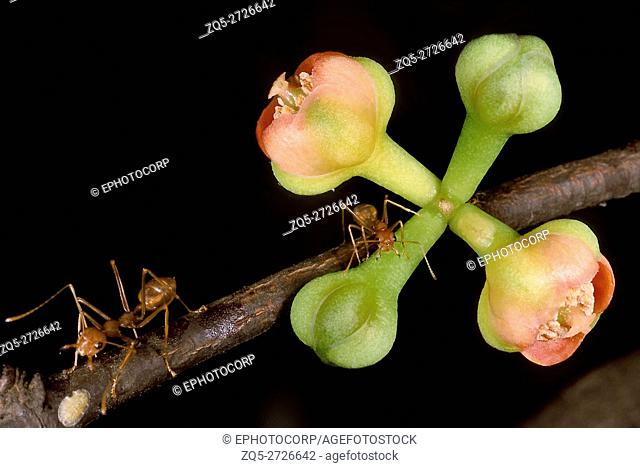Garcinia Indica. Family: Clusiaceae. The flowers of the Kokam or kokum tree. This elegant evergreen tree yields fruits which are made into a refreshing drink...