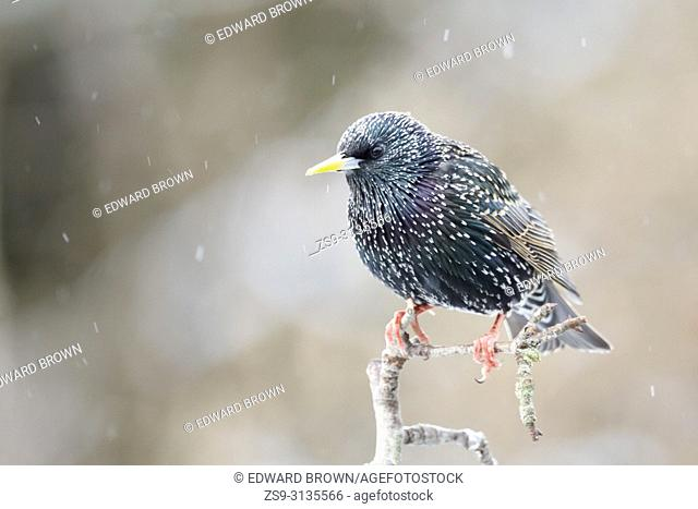 A Starling (Sturnus vulgaris) perches on a stick in a snow shower, East Sussex, UK