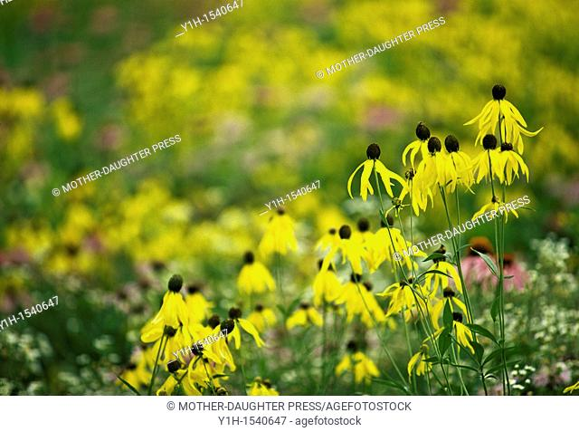 Yellow coneflowers (Echinacea paradoxa) and Black-eyed Susans (Rudbeckia hirta) in meadow of native wildflowers. The Ozarks, Missouri, USA