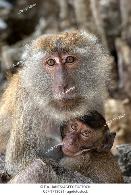 Crab-eating Macaque Macaca fasdicularis female with infant on beach Southern Thailand