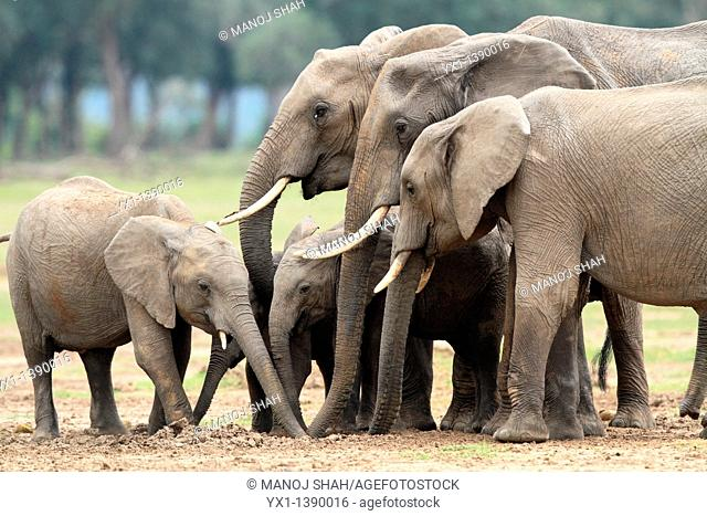 Elephant Calves can easily slip between the adult legs to find a place for themselves  Adult elephants can consume upto 200 litres of water in dry weather  Mara...