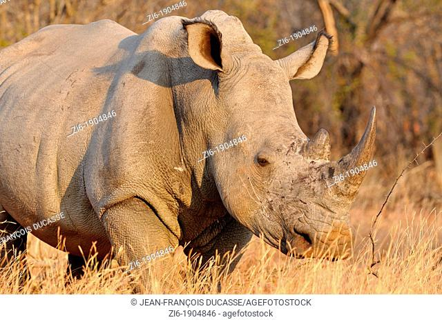 White rhinoceros, Ceratotherium simum, walking, Marakele National Park, Limpopo, South Africa
