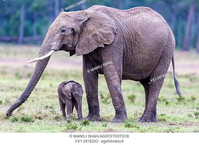 mother and baby Elephant grazing. Masai Mara National Reserve, Kenya