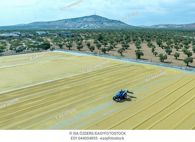 Worker spreads bulgur wheat on a field with conventional techniques for drying under the sun in Gaziantep,Turkey. 03 September 2016