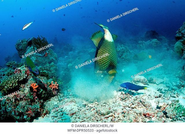 Titan Triggerfisch looking for Prey between Stones, Balistoides viridescens, North Ari Atoll, Maldives