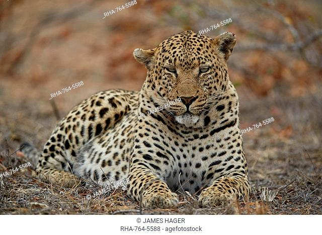 Leopard (Panthera pardus), male, Kruger National Park, South Africa, Africa