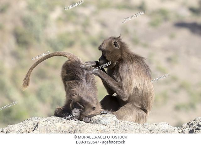 Africa, Ethiopia, Rift Valley, Debre Libanos, Gelada or Gelada baboon (Theropithecus gelada), adult female with a young, grooming