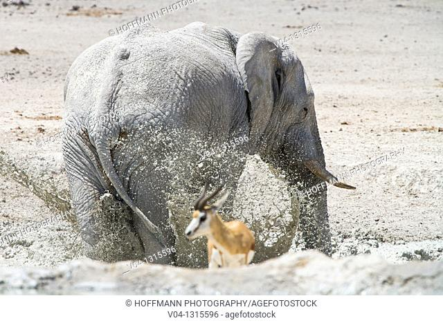 An african elephant (Loxodonta africana) taking a mudbath at a waterhole in the Etosha National Park, Namibia, Africa