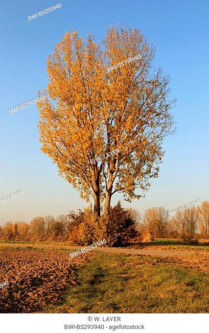 white poplar, silver-leaved poplar, abele (Populus alba), in autumn, Germany