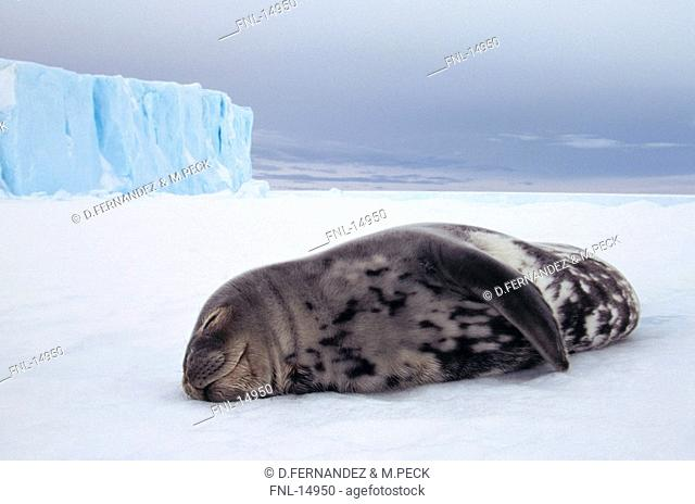Weddell Seal Leptonychotes weddellii sleeping on ice floe, Antarctica