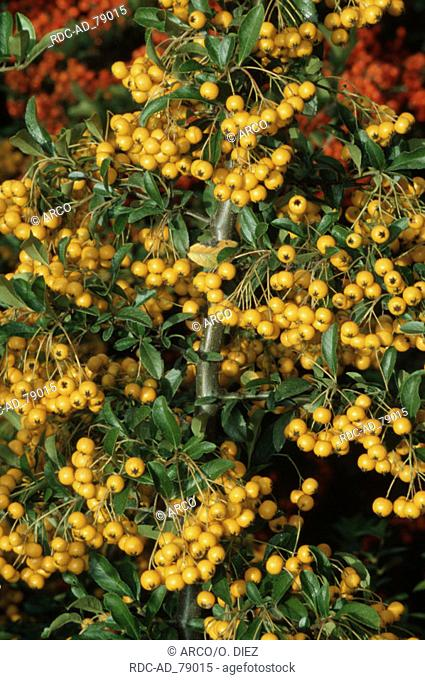 Firethorn with berries 'Golden Charmer' Pyracantha spec