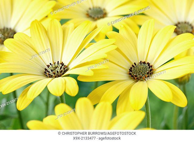 Osteospermum Serenity Lemonade = 'Balserlem' Serenity Series July