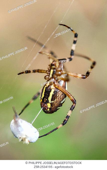 France, Brittany, Côtes d'Armor, Pleudihen-sur-Rance, Argiope Spider and its prey