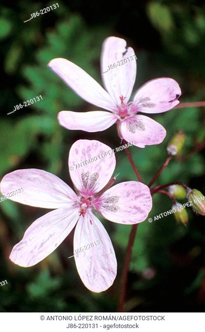 Wildflowers (Erodium primulaceum)