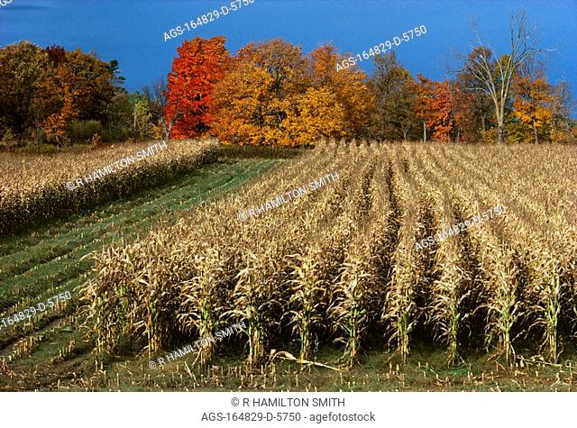 Agriculture - Mature, partially harvested grain corn field with Autumn colors in background / MN