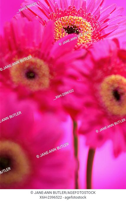 beautiful pink gerberas full bloom - positive and flourishing