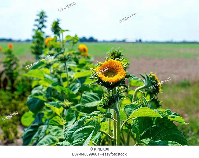 Ripening sunflower in a field in the countryside on a beautiful, sunny, hot, summer day