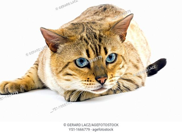 Seal Mink Tabby Bengal Domestic Cat, Male with Blue Eyes laying against White Background