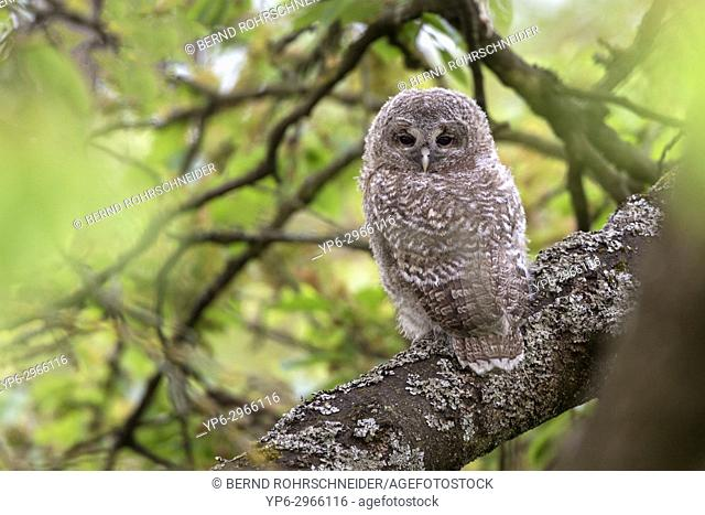 Tawny owl (Strix aluco), young perched on branch, Trier, Rhineland-Palatinate, Germany