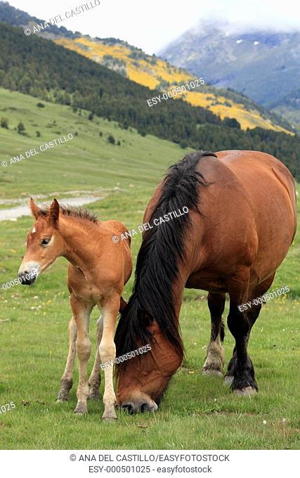 Horses in the Pyrenees mountains , Beret, Lerida, Catalonia, Spain