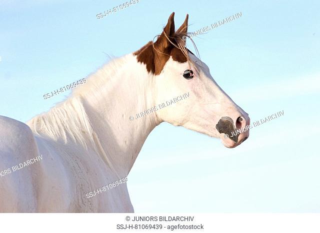 Pintabian. Portrait of juvenile mare seen against a blue sky. Egypt