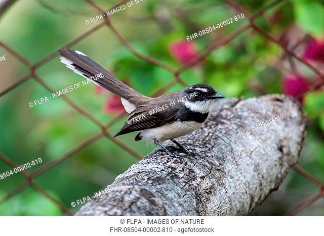 Philippine Pied Fantail (Rhipidura nigritorquis) adult, perched on branch beside chainlink fence, Palawan, Philippines, June
