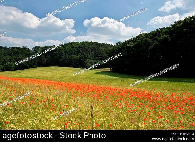Kornfeld in der Eifel