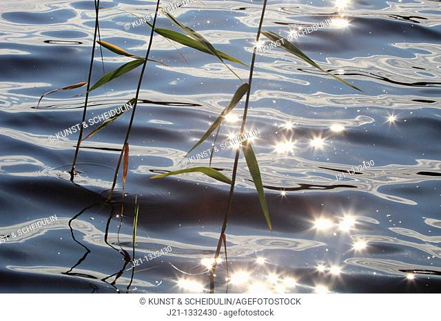 Reed Phragmites australis is moving with the wind while sunlight is glittering on the waves of a fjord in Sweden