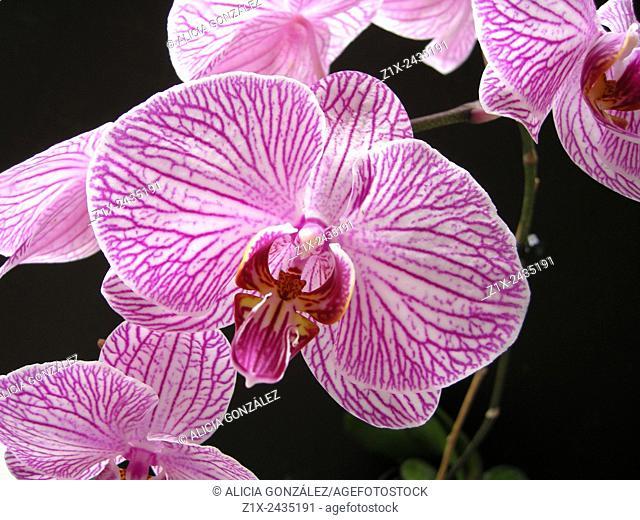Phaleanopsis sp close up
