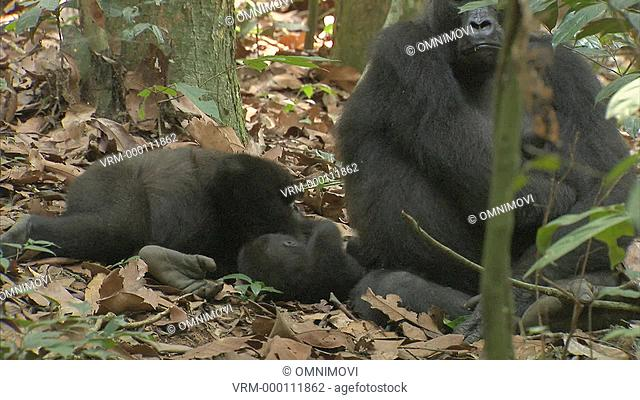 Baby Western Lowland Gorilla sitting and playing on forest floor with other Western Lowland Gorilla and mother
