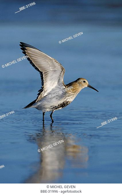 Dunlin in pose with the wings lifted