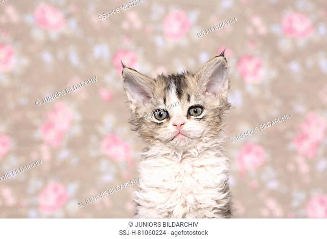 Selkirk Rex. Kitten (6 weeks old) sitting, portrait. Studio picture seen against a floral design wallpaper. Germany