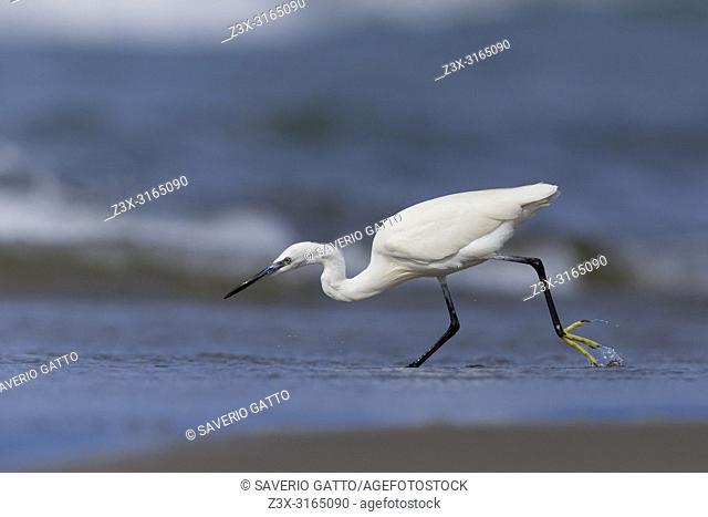 Little Egret (Egretta garzetta), chasing fishlet on the shore, Eboli, Campania, Italy