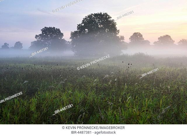 English oak (Quercus robur) in the morning mist, Middle Elbe Biosphere Reserve, Saxony-Anhalt, Germany