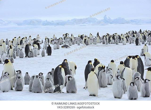 Emperor penguins, Aptenodytes forsteri, Penguin Colony with Adults and Chicks, Snow Hill Island, Antartic Peninsula, Antarctica