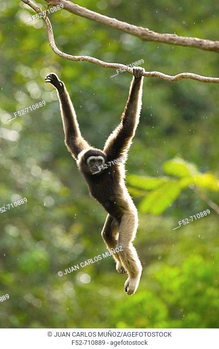 Malaysia, Borneo Island. Borneo Gibbon (Hylobates muelleri)