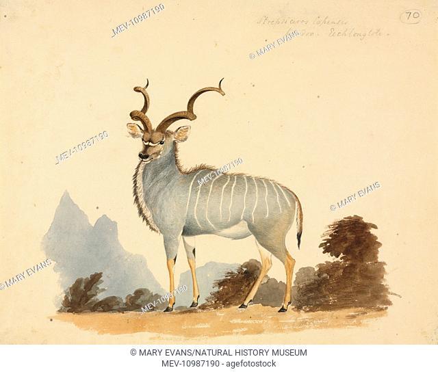 Watercolour by William Cornwallis Harris. Entitled Strepsiceros capensis, Koodoo
