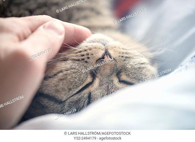 British shorthair cat lying down resting. Hand of a man stroking the fur with love and affection